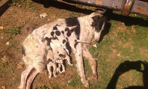 Galgos rusos perros