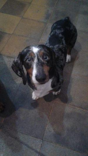 se ofrece servicio de perro salchicha dachshund