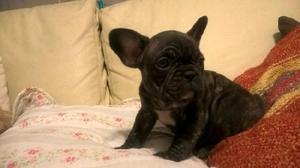 Machito bulldog francés con fca y libreta sanitaria