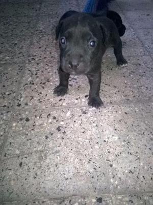 se venden cachorritos pitbull