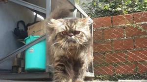 Gato Persa Brown Tabby 8 Meses