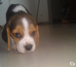 Beagles con papeles FCA