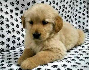 Golden Retriever Excelente Cachorros!! Aceptamos Tarjetas