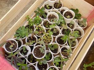 Suculentas Crasas, Cactus En Maceta De Siete Cm- Ideal