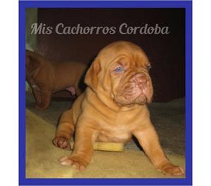 EXCELENTE DOGO DE BURDEOS MACHO CON PEDIGREE! ENVIOS