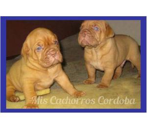 UNICA DOGO DE BURDEOS HEMBRA CON PEDIGREE!!! ENVIOS