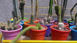 cactus de coleccion c/u