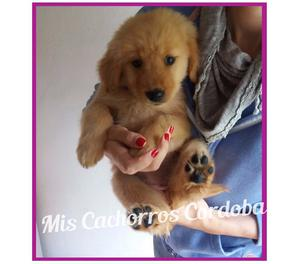 EXCELENTES GOLDEN RETRIEVER HEMBRITAS!!! SI ENVIOS