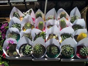 cactus crasas y suculentas maceta nro 6 elviveruski vivero