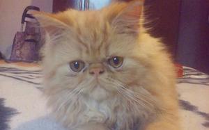 Gato Persa 4 Meses