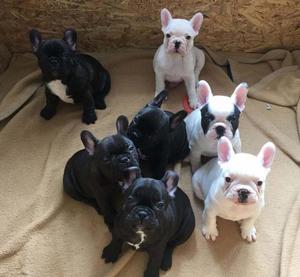 Cachorros bulldog frances machos y hembras para elegir