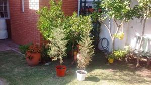 Pinos para decoración o plantado