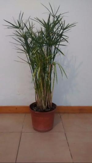 Planta junco de jardín