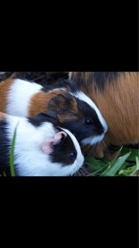 Coballos, Hamsters Rusos Y Sirios !!tambien Tenemos Jerbos!!