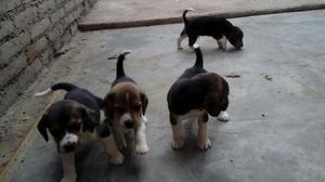 Vendo Cachorros Beagle Tricolor