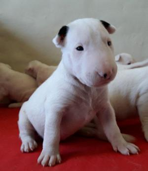 Cachorros De Bull Terrier En La Plata.