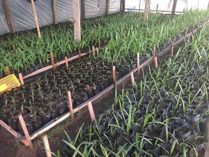 Palmeras vendo plantines adonidia merrillii posot class for Vendo plantas ornamentales