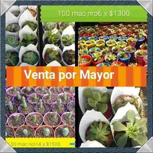 Cactus Y Suculentas Mac. Nro 6 Excelente Precio