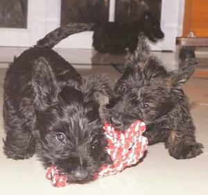 Scottish Terrier Machito Con Papeles De La Fca Retira Ya