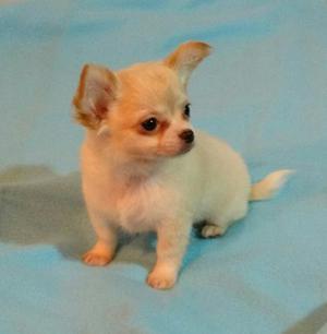 Chihuahua Macho Pelo Largo Mini