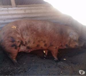 vendo cerdos en pie 18 meses de edad