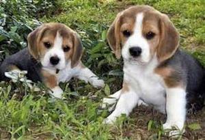 Cachorros Beagle Tricolor !! Aceptamos Tarjetas !
