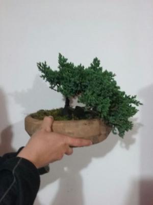 bonsai varias especies