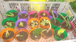 Crasas, suculentas, cactus y más