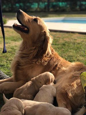 Cachorros Golden Retrieve