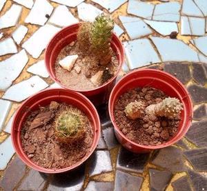 Set De Tres Cactus Diferentes En Maceta 6