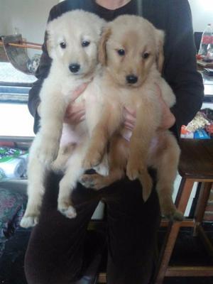 Cachorros machos golden retriever