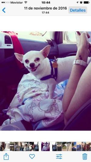 Chihuahua Macho Busca Novia