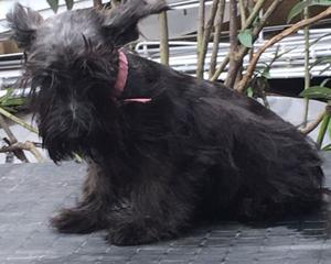 Scottish terrier hembra cachorra