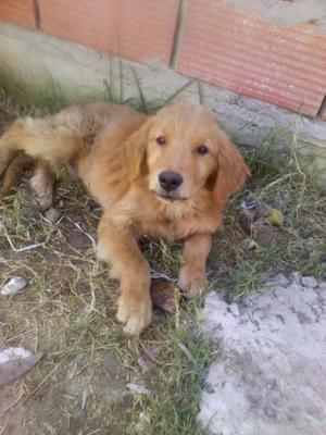 VENDO CACHORROS GOLDEN RETRIEVER 5 MESES ZONA SUR