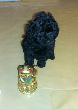 caniche mini toy hembrit6a negra azabache