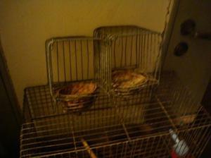 jaula de cria, para canarios