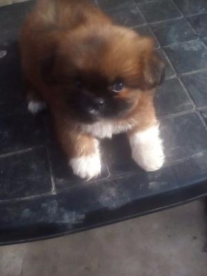 vendo 1 perrito pequinés machito de color marrón oscuro