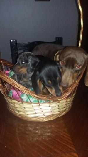 vendo ultima cachorra salchicha mini