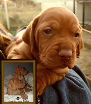 vizsla braco hungaro cachorros los mas lindos