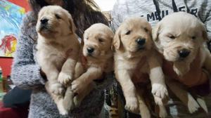 CAchorros golden disponible 8 cachorros hembas y machos
