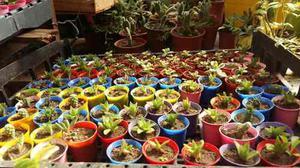 Suculentas Y Cactus Precio Para Revendedores Ideal Souvenirs