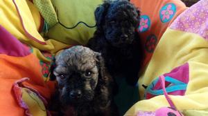 Cachorros de caniche toy y mini Gasper criadero