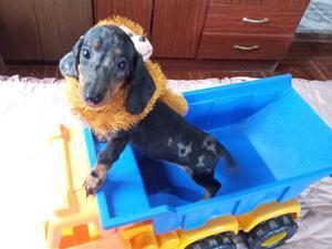 Salchicha dachshund hembra mini