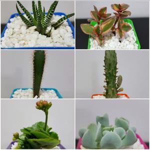 Cactus crasas y suculentas