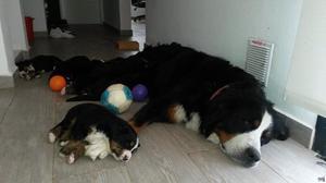 Cachorros Boyero de Berna en Córdoba con Papeles FCA