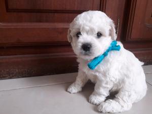 Vendo cachorro de caniche toy