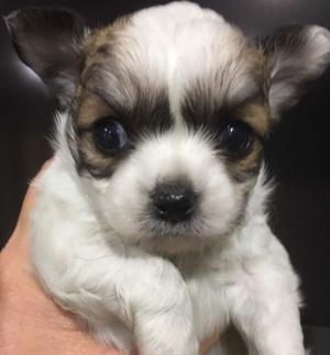 Chihuahua Macho pelo largo