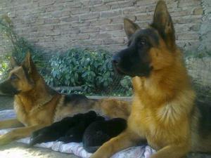Cachorras ovejero aleman!!