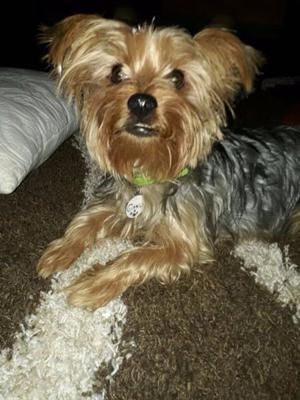 Hermoso Yorkshire Terrier Busca Novia de 18 meses de edad