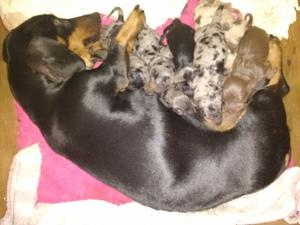 Vendo Cachorros Salchichas Mini Arlequín